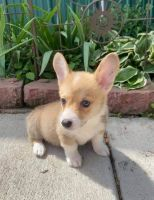 Welsh Corgi Puppies for sale in Los Angeles, CA, USA. price: NA