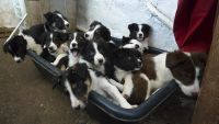 Welsh Sheepdog Puppies for sale in Montgomery, AL, USA. price: NA