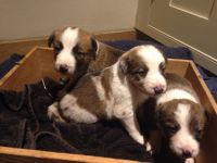 Welsh Sheepdog Puppies for sale in Maryland City, MD, USA. price: NA