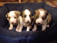 Welsh Sheepdog Puppies Photos