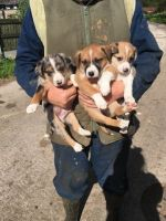 Welsh Sheepdog Puppies for sale in Austin, TX, USA. price: NA
