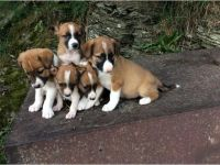 Welsh Sheepdog Puppies for sale in NEW New Paltz Plaza, New Paltz, NY 12561, USA. price: NA