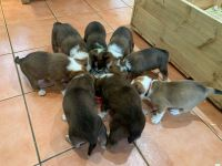 Welsh Sheepdog Puppies for sale in Virginia Beach, VA, USA. price: NA