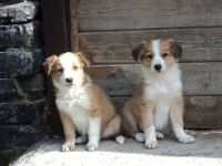 Welsh Sheepdog Puppies for sale in 862 NJ-33, Hamilton Township, NJ 08619, USA. price: NA