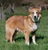 welsh sheepdog dog