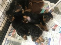 Welsh Terrier Puppies for sale in Anchorage, AK, USA. price: NA