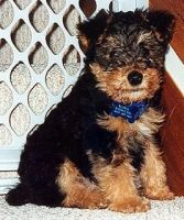 Welsh Terrier Puppies for sale in Atlanta, GA, USA. price: NA