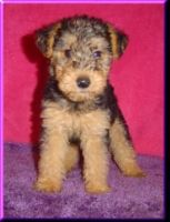 Welsh Terrier Puppies for sale in Washington, DC, USA. price: NA