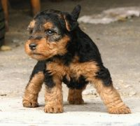 Welsh Terrier Puppies for sale in York, SC 29745, USA. price: NA