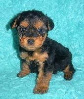 Welsh Terrier Puppies for sale in New York, NY, USA. price: NA