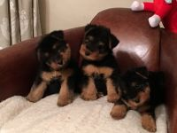 Welsh Terrier Puppies for sale in Los Angeles, CA 90001, USA. price: NA