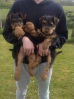 Welsh Terrier Puppies for sale in Paris, TX 75461, USA. price: NA