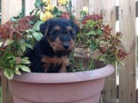 Welsh Terrier Puppies for sale in Michigan Ave, Inkster, MI 48141, USA. price: NA