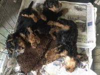 Welsh Terrier Puppies for sale in Indianapolis, IN 46201, USA. price: NA