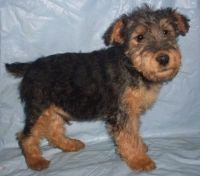 Welsh Terrier Puppies for sale in 114-34 121st St, Jamaica, NY 11420, USA. price: NA