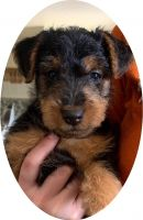 Welsh Terrier Puppies for sale in Killeen, TX 76542, USA. price: NA