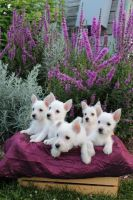 West Highland White Terrier Puppies for sale in Midland Park, NJ 07432, USA. price: NA