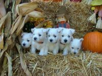 West Highland White Terrier Puppies for sale in Goshen, IN, USA. price: NA