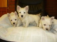 West Highland White Terrier Puppies for sale in 47401 SD-34, Egan, SD 57024, USA. price: NA