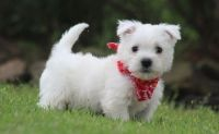 West Highland White Terrier Puppies for sale in Tucson, AZ, USA. price: NA