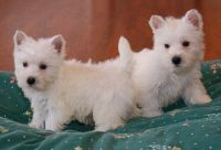 West Highland White Terrier Puppies for sale in Georgetown, KY 40324, USA. price: NA
