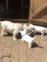 West Highland White Terrier Puppies for sale in Anchorage, AK 99515, USA. price: NA