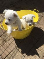 West Highland White Terrier Puppies for sale in Broad Brook, CT 06016, USA. price: NA