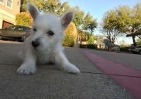 West Highland White Terrier Puppies for sale in Glastonbury, CT, USA. price: NA