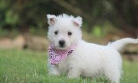 West Highland White Terrier Puppies for sale in Bozeman, MT, USA. price: NA