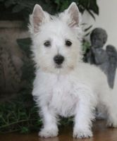 West Highland White Terrier Puppies for sale in Jacksonville, FL, USA. price: NA