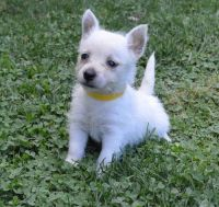 West Highland White Terrier Puppies for sale in Rice, MN 56367, USA. price: NA