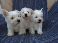 West Highland White Terrier Puppies for sale in 10001 US-4, Whitehall, NY 12887, USA. price: NA