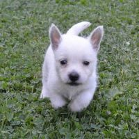 West Highland White Terrier Puppies for sale in Brunswick, OH 44212, USA. price: NA