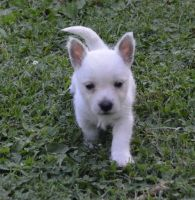 West Highland White Terrier Puppies for sale in Salem, OR, USA. price: NA