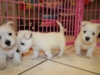 West Highland White Terrier Puppies for sale in Olympia, WA, USA. price: NA