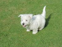 West Highland White Terrier Puppies for sale in Austin, TX 78704, USA. price: NA