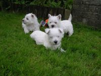 West Highland White Terrier Puppies for sale in Paris, TX 75461, USA. price: NA