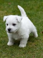 West Highland White Terrier Puppies for sale in Las Vegas, NV, USA. price: NA