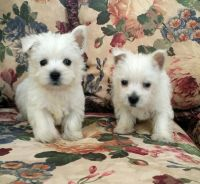 West Highland White Terrier Puppies for sale in Los Angeles, CA 90012, USA. price: NA
