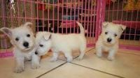 West Highland White Terrier Puppies for sale in Seattle, WA 98185, USA. price: NA