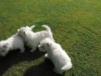 West Highland White Terrier Puppies for sale in Cheyenne, WY 82001, USA. price: NA