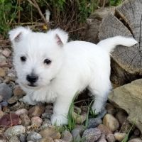 West Highland White Terrier Puppies for sale in Baltimore, MD, USA. price: NA
