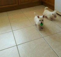 West Highland White Terrier Puppies for sale in Arlington, VA, USA. price: NA