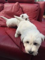 West Highland White Terrier Puppies for sale in S First Colonial Rd, Virginia Beach, VA 23454, USA. price: NA