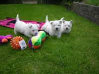 West Highland White Terrier Puppies for sale in Honolulu, HI 96826, USA. price: NA