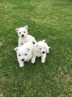 West Highland White Terrier Puppies for sale in Chattanooga, TN 37401, USA. price: NA