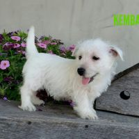 West Highland White Terrier Puppies for sale in Canton, OH, USA. price: NA