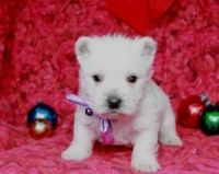 West Highland White Terrier Puppies for sale in State Hwy 295, Washington, DC, USA. price: NA