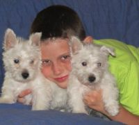 West Highland White Terrier Puppies for sale in Dallas, TX, USA. price: NA