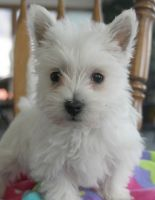 West Highland White Terrier Puppies for sale in Green Bay, WI, USA. price: NA